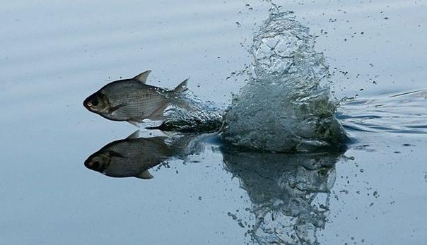 ловля леща в нерест на озере