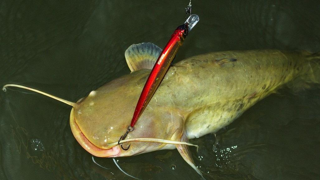 рыбаки ловят сома