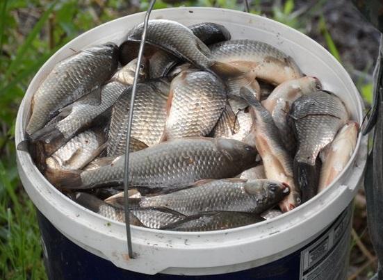 в ведре у рыбака караси и щуки
